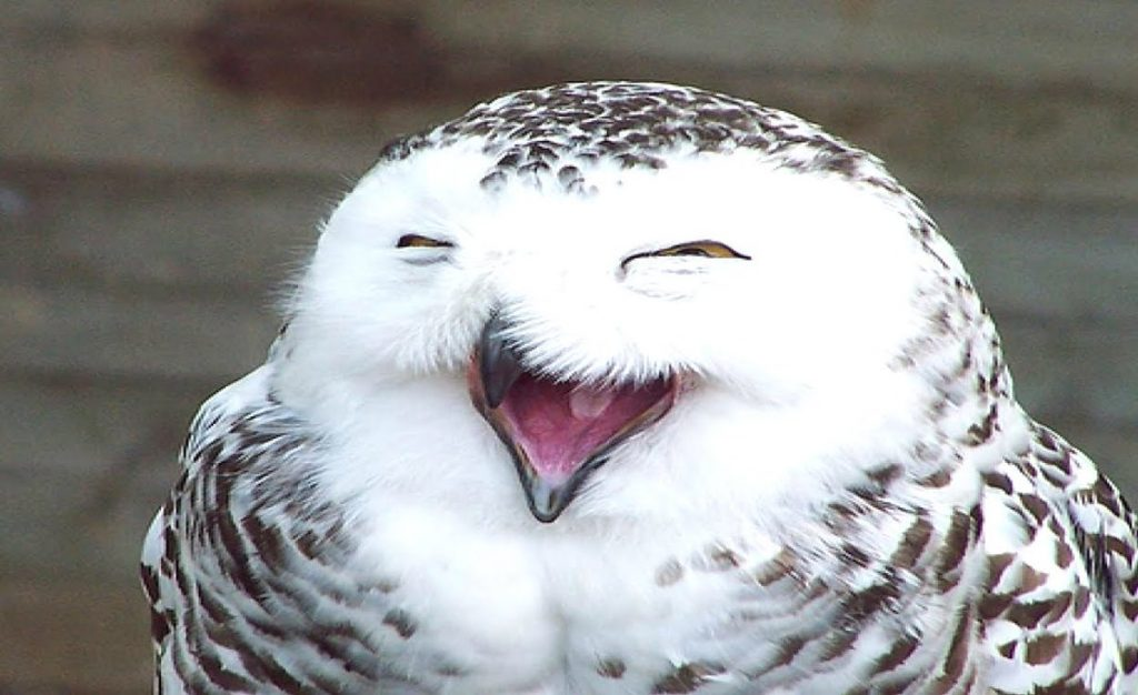 A Screaming Owl