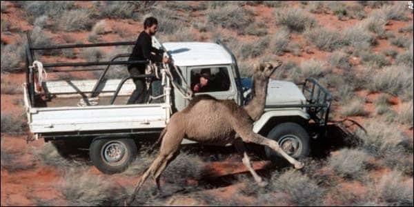 You Can't Hunt Camels Down!